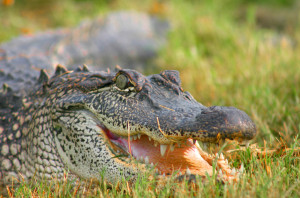Saltwater crocodile 9